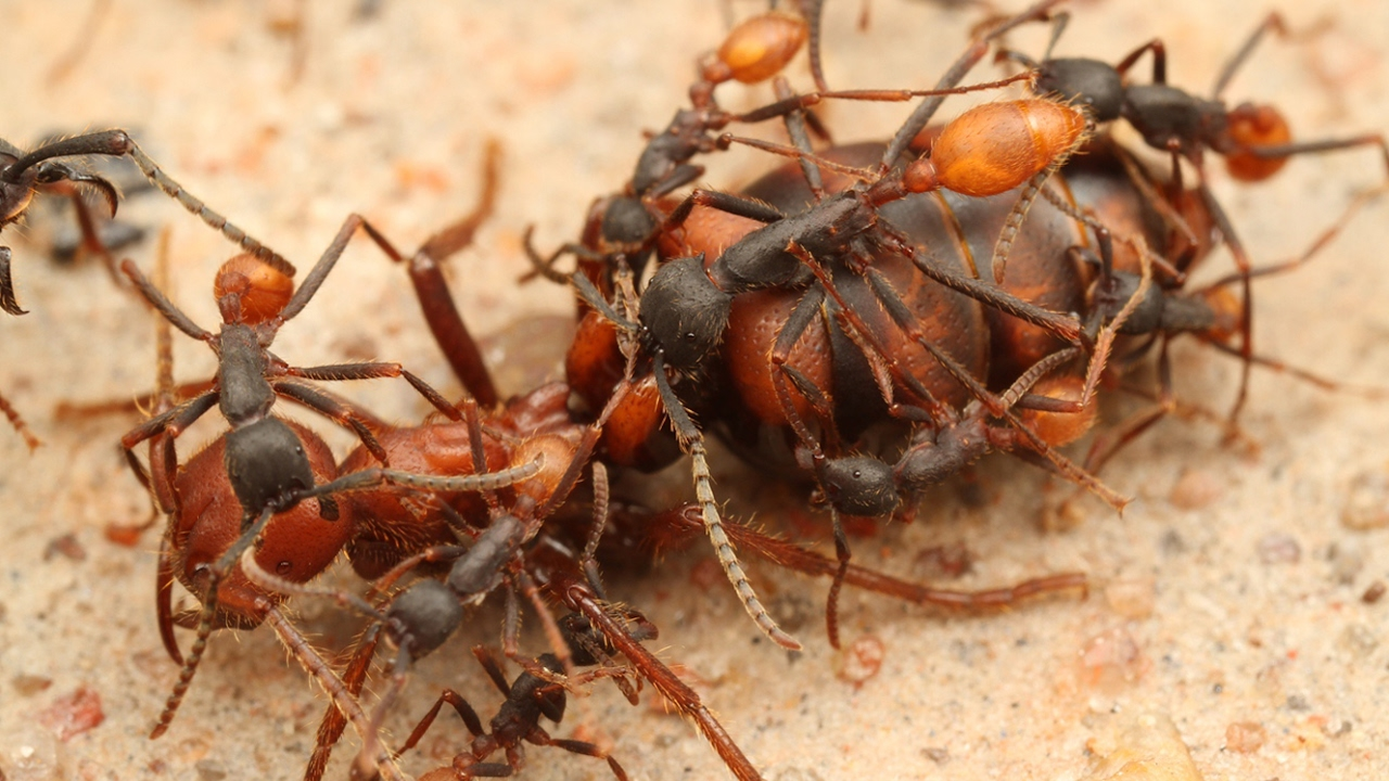 La Javel Tue Les Fourmis ants decapitate their queen - zapping sauvage