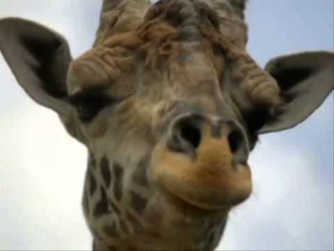 Песня Вова Высоцкий - Жираф большой, ему видней. в mp3 256kbps