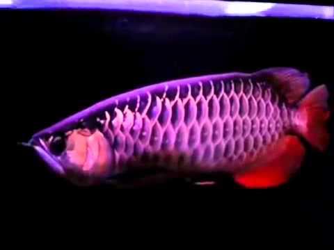 Image result for beautiful arowana