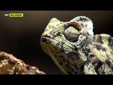 Bukalemunun Kaplumbağa ve Sinek ile Mücadelesi