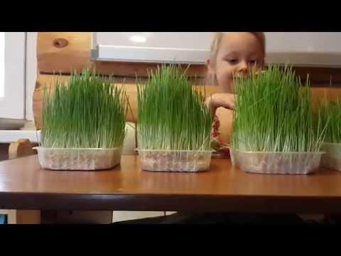 видео: Результат  Выращивание зелени на подоконнике. Сравнение. Вода и Почвенный раствор