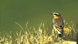 Natuur in eigen land - geluid tapuit