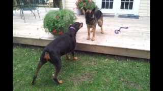 Doberman Vs German Shepherd