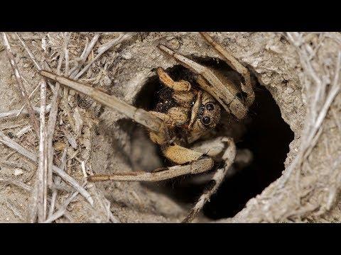 Паук тарантул у нас во дворе. Жуткое зрелище. #паук #тарантул