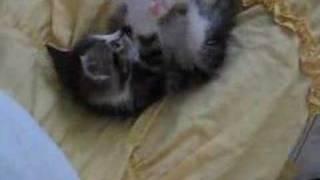 Baby Kaka Chu the Ribbon Cat