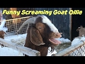 Funny Screaming Goat Ollie - A Yelling Goats Video