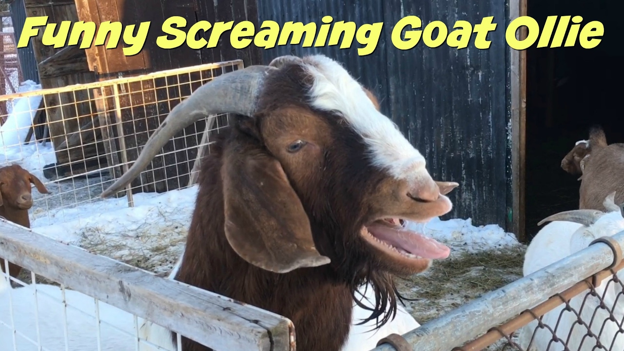 SCREAMING GOAT- aka my mom trying to scare me. FAIL. - YouTube  Mom Screaming Goats Funny