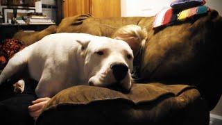 面白い大きな犬。 2:13は愛らしいです! 購読する:http://bit.ly/Funny...