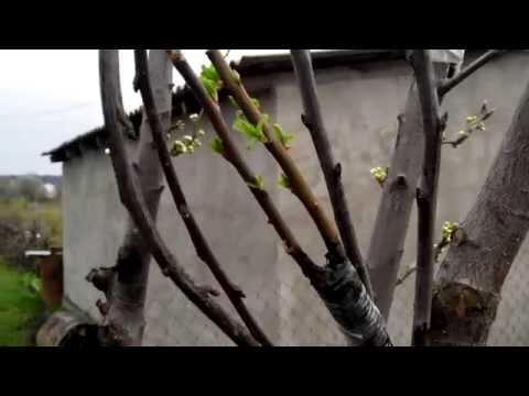 Декоративные плодовые деревья: краснолистная алыча или