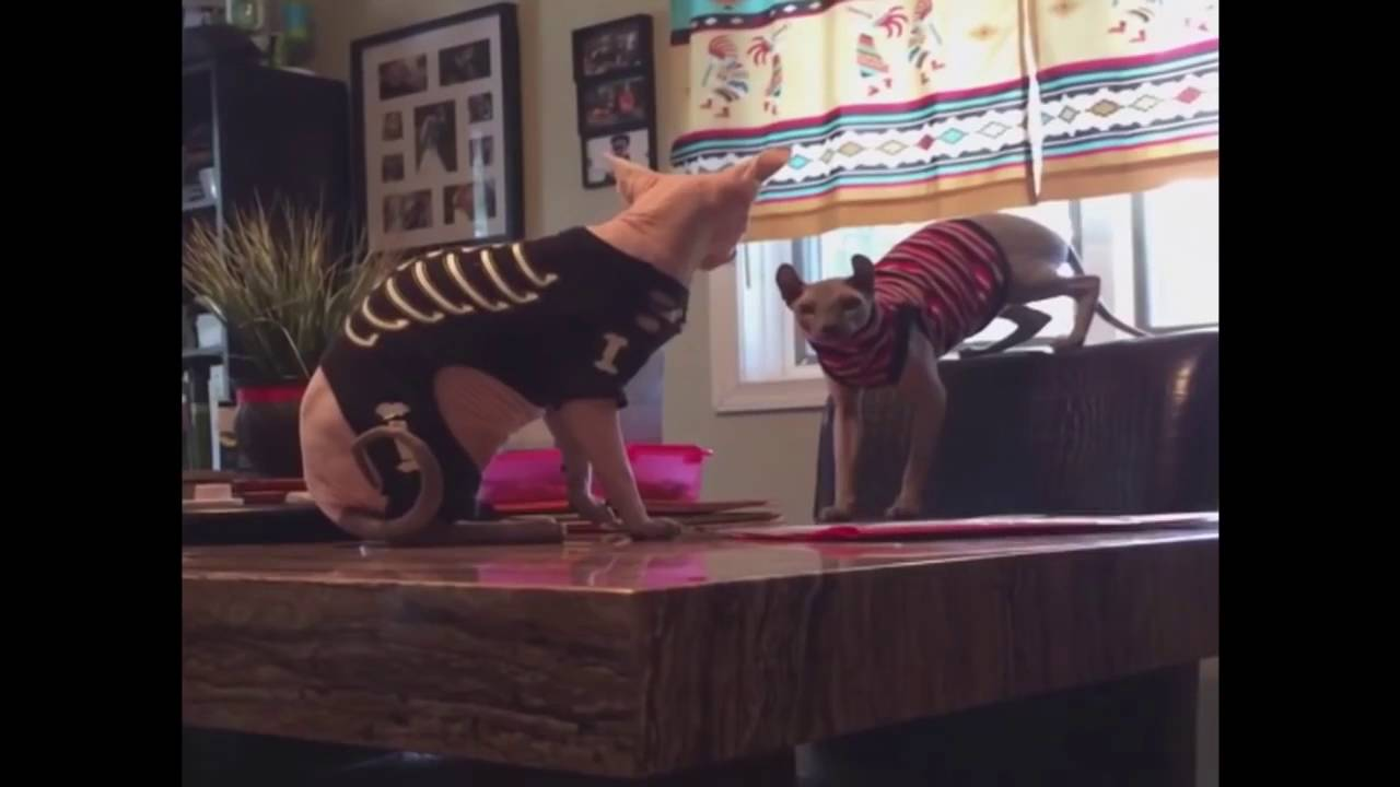 Hairless Cat in Ugly Sweater Falls off of Table - YouTube