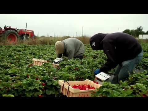 A Bitter Harvest: Strawberry Fields