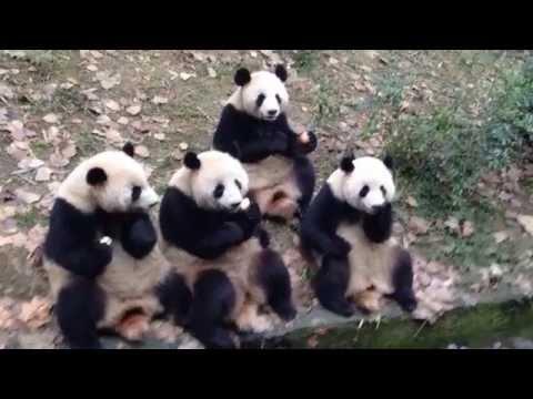 Giant pandas at Chengdu Giant Panda Breeding&Research Base, Sichuan province, China
