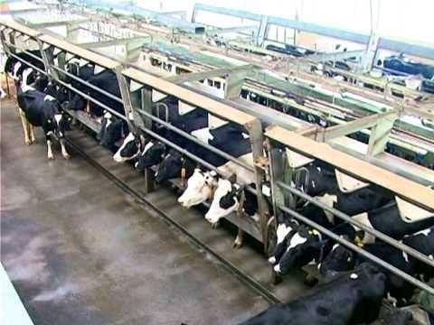 Купить коз и козлят живых на разведение и убой, различных пород оптом и в розницу сельхозживотные объявления о продаже, цены и спрос.