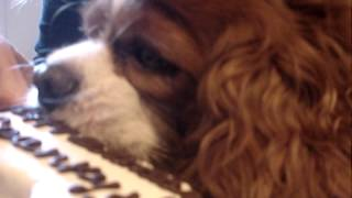 Spanky The Cavalier King Charles Spaniel Eating His Birthday Cake And Snorting Like A Pig
