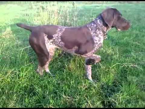 german pointer learning to point and flush