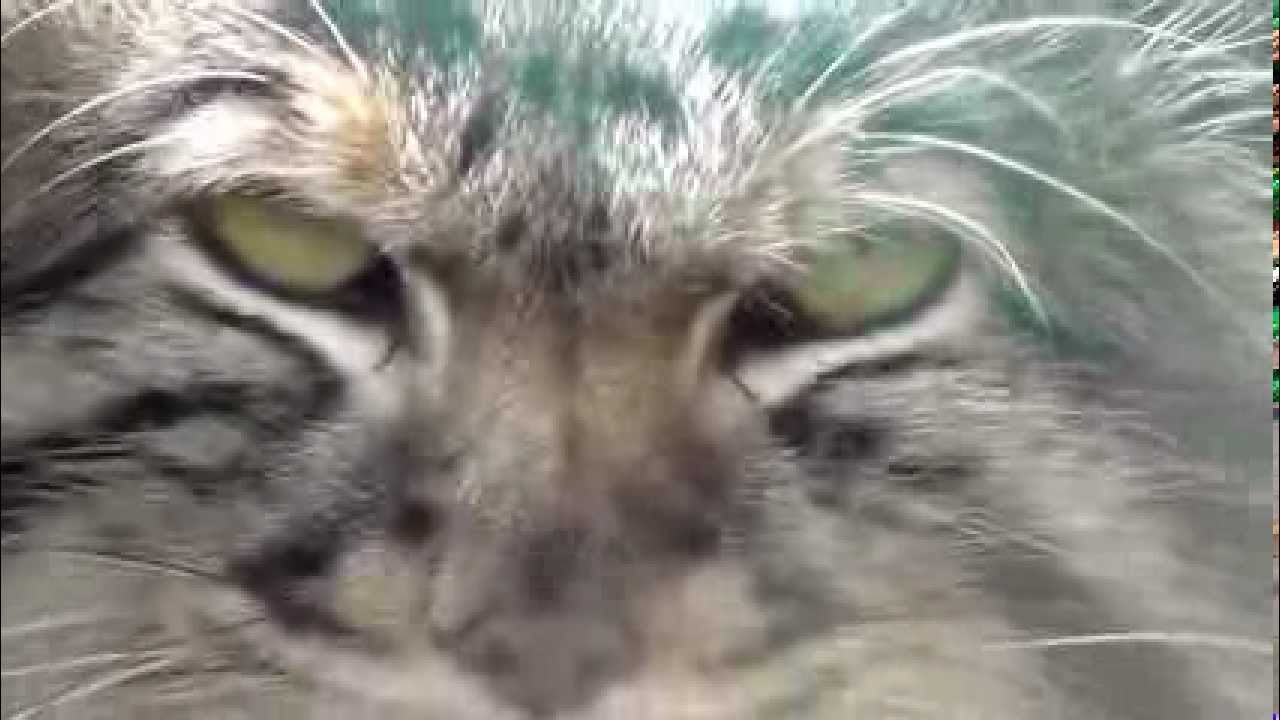 фото кота манула.
