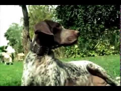 vendre du braque allemand au maroc le 1er professionelle chien de chasse dans le monde youtube. Black Bedroom Furniture Sets. Home Design Ideas