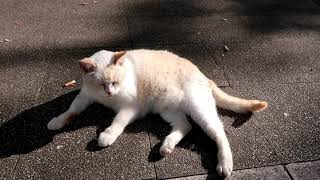 Cat Videos Her Name Is Sakuramochi. Episod 7 - Japanese Cats On The Street