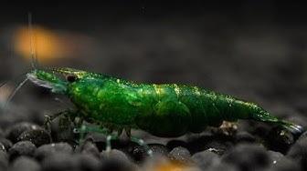 Krewetki Neocaridina Green Jade