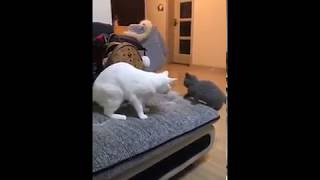 Cat Series: When a small black cat is trying to mess up with a big white cat