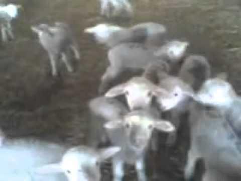 Baby Goat Choir