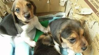 13インチビーグルの子犬たち(ちくわ、ボンド、ルービック)が成長して...