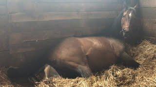 Horse Giving Birth (GRAPHIC) (Full Length)