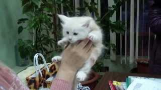 Правила разведения породистых кошек в системе PCA