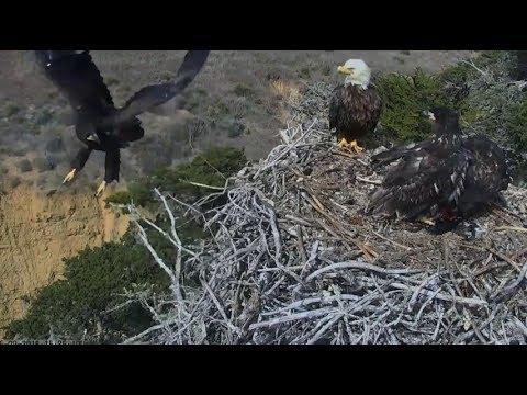 Sauces Channel Island Eagles ~ Corsair...