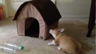 Meeko The Corgi Getting Acquainted With His Plush Dog House