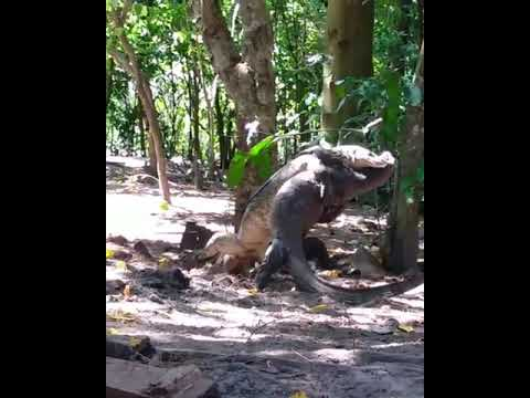 The KiddChris Show - Giant Monitor Lizards Standing on Their Hind Legs and Wrestling!!!