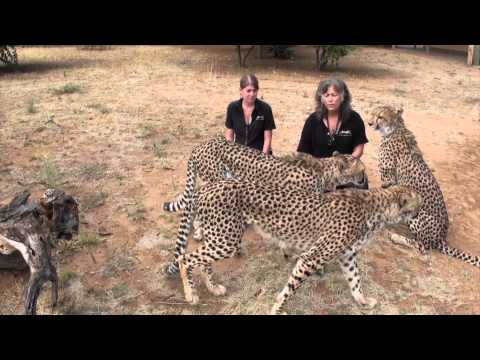 A Message from Dr. Laurie Marker and Cheetah Conservation Fund