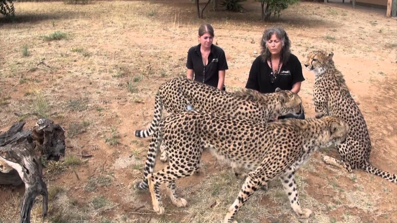 cheetah conservation fund Cheetah conservation fund founded by dr laurie marker in 1990, the cheetah conservation fund's (ccf) mission is to be the internationally recognized center of.