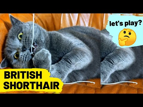 British Shorthair - Cat breed , let's play #11