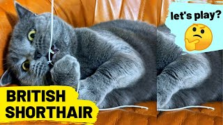 British Shorthair - Cat breed