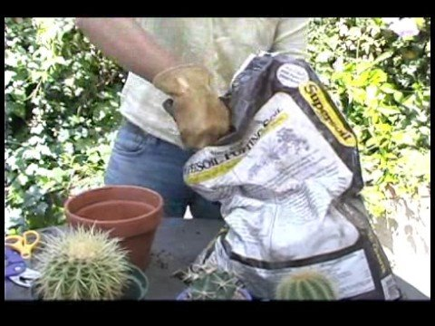 Interior & Exterior Potted Plants : Safely Potting a Barrel Cactus