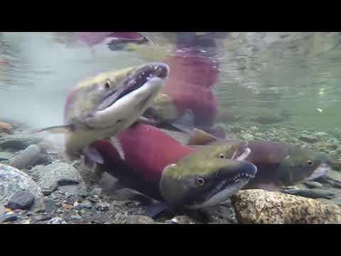 sonido-relajante-del-mar,-salmón-rojo-|-🎼música-piano-para-estudiar,-meditar,-y-concentrarse