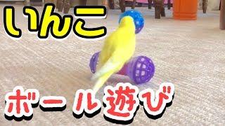 我が家のセキセイインコとの日常です♪ ボール遊びがすごかった、キララ☆...