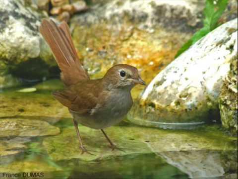 Chant d' oiseau LE ROSSIGNOL
