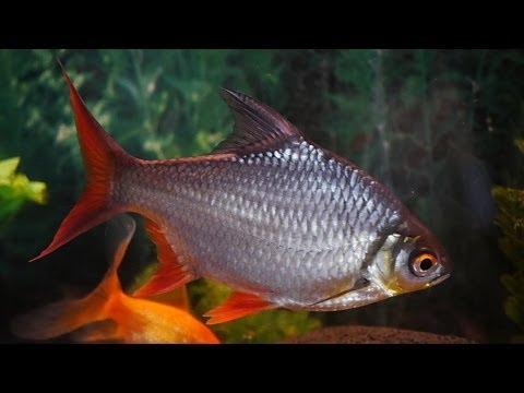 The best Tinfoil barb aquarium - YouTube