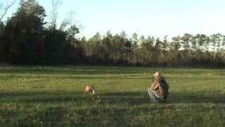 Labrador Retriever Training For Duck Hunting - Jan3 Ylwfml2