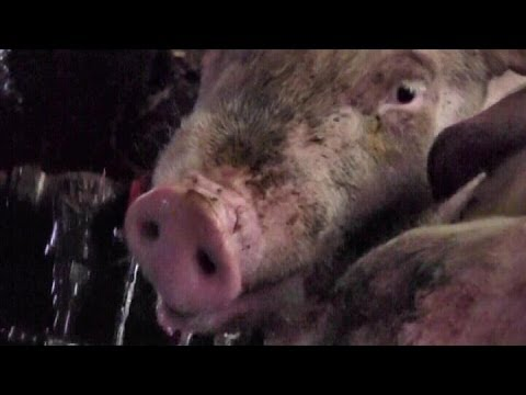 Home-Grown Free-Range Organic Pork - Part One, New Pigs Arrive!