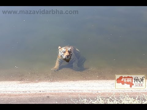 पहा कसा बचावला जयचंद वाघ | Exclusive Video of Tiger Jaichand Fall in Water and  survived