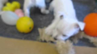 West Highland White Terrier Puppies For Sale In Pa