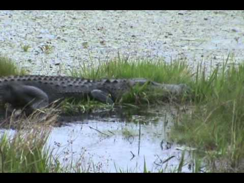 Mommy Gator ready to lay eggs - YouTube