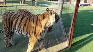 Do tigers get scared if they see themselves in a mirror.