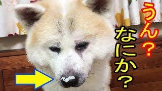秋田犬・惣右介君、最近良く寝ますので元気無いのか心配な家族 しかし、...
