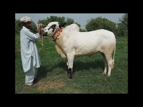 Qurbani bulls of 2018 in Rawalpindi Pakistan Allah qurbani Qabool Farmy  Ameen