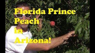 Florida Prince Peach Tree in AZ