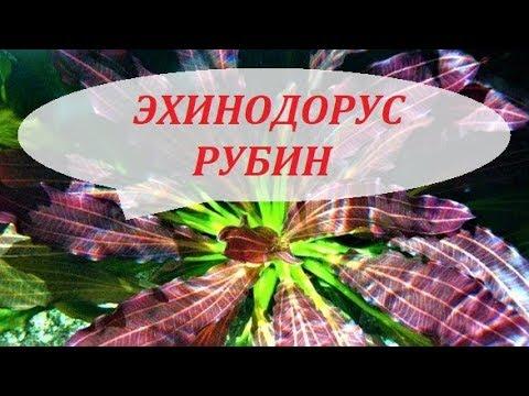 Эхинодорус Рубин в аквариуме. Размножение, содержание. Эхинодорусы виды.